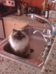 Himalayan Cat Loves to Drink from Faucet