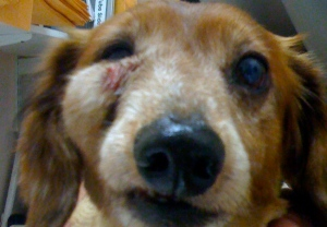 old red dachshund with grey muzzle has firm bulge like a golf ball under her right eye