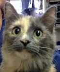 dilute calico long-haired healthy cat with bright green eyes looks up at the camera like it has a treat attached to it!