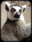 Beautiful, thick, plush fur covers this energetic lemur.