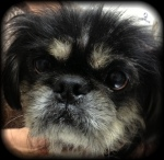 Harry, the Pekingnese dog, has dry dull full and dull, allergy eyes with sticky goo on the eyelid margin each morning.